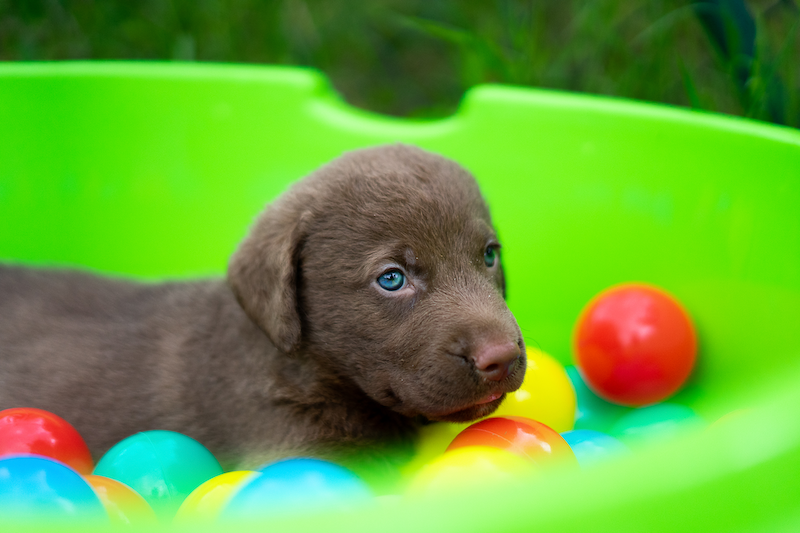 Chesapeake Bay Retriever of Pamunkey